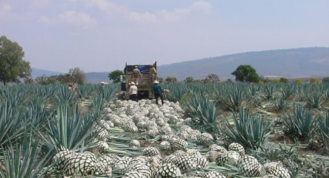 Agave Nectar – The Facts