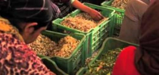 The Neroli Harvest – Morocco