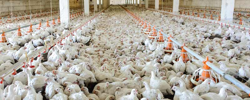 Chicken Factory Farms Are Polluting NC Residents