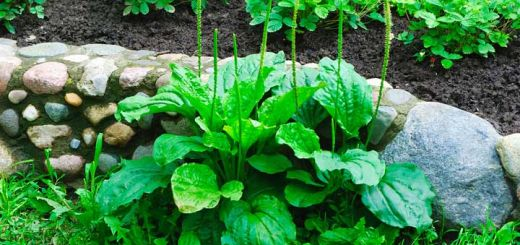 This Little Weed Is One Of The Planet's Best Herbal Remedies