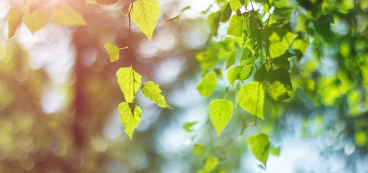 Homemade Birch Leaf Oil To Help Soothe Sore Muscles