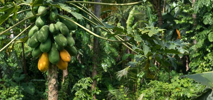 5 Reasons Why You Need Papayas In Your Life