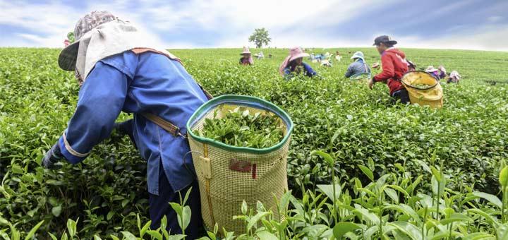 The Amazing Health Benefits Of Ceylon Tea
