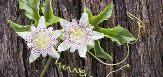 The 5 Impressive Benefits Of Passion Flower