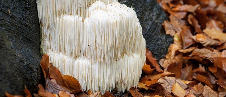 Lion's Mane Mushroom Boosts Memory, Focus, Mood, And More