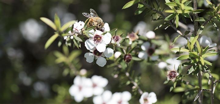 6 Proven Health Benefits Of Manuka Honey