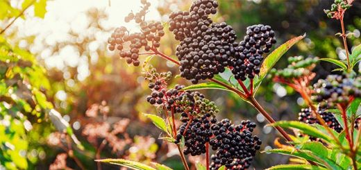 The 5 Benefits Of Elderberry You Must Know About